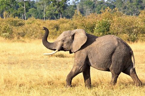 enfrigne Première L'éléphant