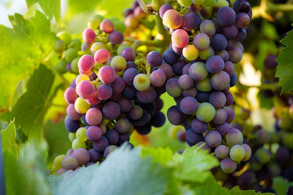Neue Zeit - Magazin Herbst 2019 Früchte: Weintraube